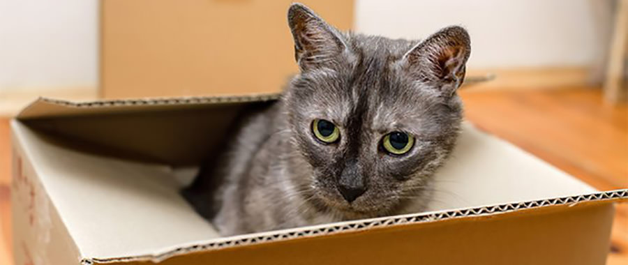 Kater schaut aus dem Umzugskarton beim Umzug mit Katze.