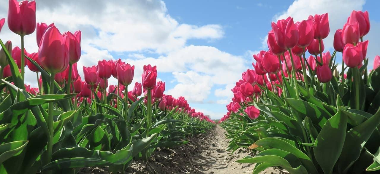 Die Tulpenfelder besuchen, nach dem Umzug Wien Niederlande.
